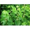 Кирказон трава (кирказон ломоносовидный) 50 грамм